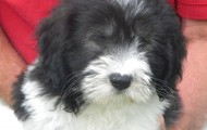 Carly-Batman Puppies 8 weeks old 014